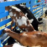 Goats in Monalea Petting Zoo