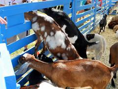 Goats in Monalea Petting Zoo